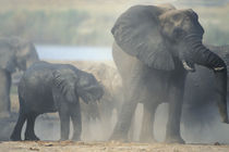 Elephant herd (Loxodonta africana) raises cloud of dust along Chobe River von Danita Delimont