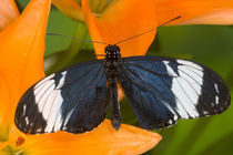 Sammamish Washington Tropical Butterflies photograph of Neotropical butterfly Heliconius cydno the Blue and White Longwing Butterfly on orange Asiaic Lily by Danita Delimont