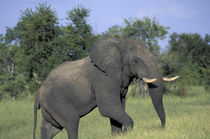 Elephant (Loxodonta africana) feeds in lush grass by Danita Delimont