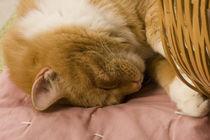 Orange tabby sleeping von Danita Delimont