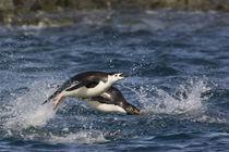 Adelie penguins porpoising toward their nesting sites after feeding in ocean von Danita Delimont