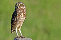 The Burrowing Owl in the Pantanal by Danita Delimont
