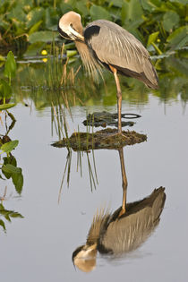 Great blue heron reflection in the Wakodahatchee Wetlands by Danita Delimont