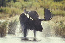 Katmai NP Moose shower by Danita Delimont