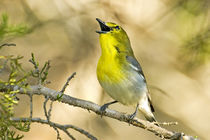Male yellow-throated vireo singing by Danita Delimont