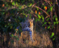Leopard (Panthera Pardus) as seen in the Masai Mara von Danita Delimont