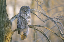 Great gray owl perched on tree limb at sunset by Danita Delimont