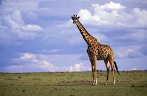 Kenyan Giraffe (Giraffe camelopardalis tippelskirchi) by Danita Delimont
