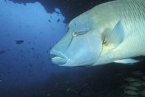 Napoleanfish (Chelinus undulatus) by Danita Delimont
