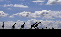 Giraffes (Giraffa camelopardalis) silhouetted against the sky by Danita Delimont