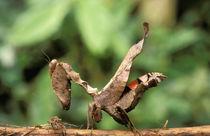 Praying Mantis von Danita Delimont