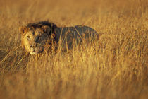 Adult Male Lion (Panthera leo) in tall grass on savanna von Danita Delimont