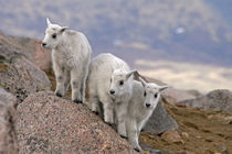 Three mountain goat kids on rock by Danita Delimont