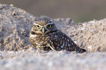 USA - California - Imperial County - Salton Sea area - Burrowing Owl sitting at entrance to burrow at dusk by Danita Delimont
