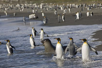 King Penguins (Aptenodytes patagonicus) and young Elephant Seals (Mirounga leonina) along shoreline at massive rookery along Saint Andrews Bay by Danita Delimont