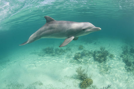 """Captive Bottlenose Dolphin (Tursiops truncatus) swimming ..."