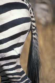 Close-up of Plains Zebra (Equus burchelli) tail and flank in tall grass on savanna von Danita Delimont