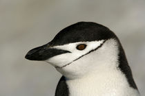 Close-up of adult chinstrap penguin's head von Danita Delimont