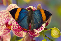 Sammamish Washington Tropical Butterfly photograph of Kalima inachus the Orange Dead Leaf Butterfly on Orchid by Danita Delimont