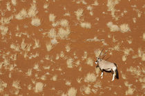 Aerial view of lone oryx standing in Namib Desert by Danita Delimont