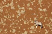 Aerial view of lone oryx standing in Namib Desert von Danita Delimont