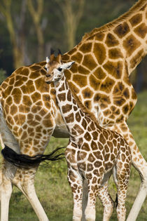 Rothschild's Giraffe baby with mother at Lake Nakuru NP von Danita Delimont