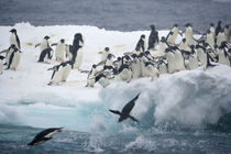 Adelie penguins leaping off iceberg into ocean by Danita Delimont