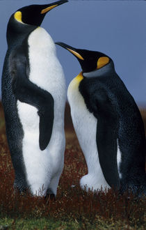 Two king penguins stand in tundra vegetation by Danita Delimont