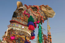 1st Place Winning Camel at the Camel FAIR by Danita Delimont