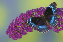 Hypolimnas alimena the Blue-banded Eggfly Butterfly from PNG by Danita Delimont