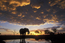 Elephant (Loxodonta africana) silhouetted by setting sun at Marabou Pan in Savuti Marsh by Danita Delimont