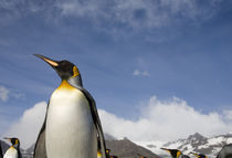 King Penguins (Aptenodytes patagonicus) along shoreline in massive rookery along Saint Andrews Bay by Danita Delimont