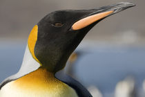 Close-up portrait of King Penguin (Aptenodytes patagonicus) along shoreline at massive rookery along Saint Andrews Bay von Danita Delimont