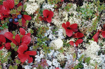 Arctic tundra is a treeless area except for a few small shrubs von Danita Delimont