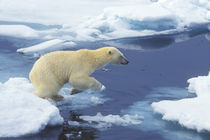 Arctic; Svalbard; Polar Bear beginning leap from one ice floe to another with blue water background by Danita Delimont