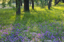 Evening light Coming through Oak Trees onto field of Blue Bonnets and Phlox near Devine Texas by Danita Delimont