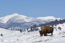 American Bison (Bison bison) von Danita Delimont