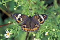 Buckeye butterfly (Junonia coenia) by Danita Delimont