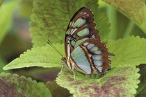 Malachite butterfly (Metamorpha stelenes) von Danita Delimont