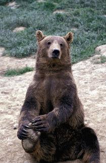 Southeast region Brown bear (Ursus arctos) von Danita Delimont