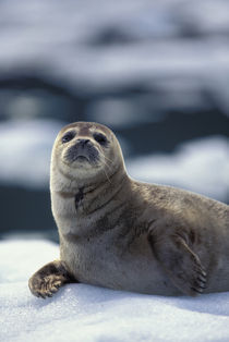 Southeast region Harbor seal on ice flow - Le Conte Glacier von Danita Delimont