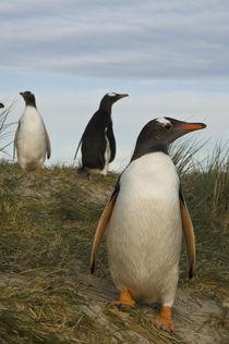 Falkland Islands von Danita Delimont