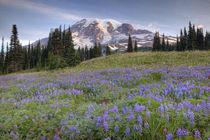 Rainier and wildflowers at Mazama Ridge by Danita Delimont