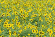 Fayette County Pattern in field of sunflowers by Danita Delimont