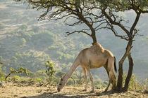 Camel in the Dhofar Mountains / Morning von Danita Delimont