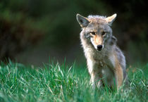 Coyote (Canis latrans) in alpine meadow in Mount Robson National Park in Canadian Rockies by Danita Delimont