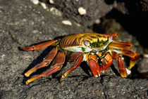 Sally Lightfoot crab on lava rock (WILD: Grapsus grapsus) by Danita Delimont