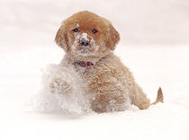 Golden Retriever Pup in Snow by Danita Delimont