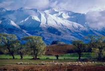 Sheep grazing below the snow-capped Harris Mountains in the Southern Alps near the town of Wanaka on the South Island of New Zealand in August von Danita Delimont