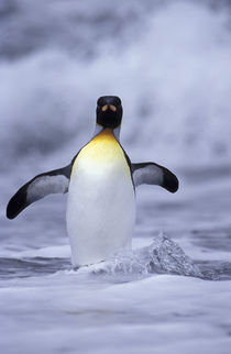 South Georgia Island King penguin (Aptenodytes patagonica) coming out of ocean by Danita Delimont